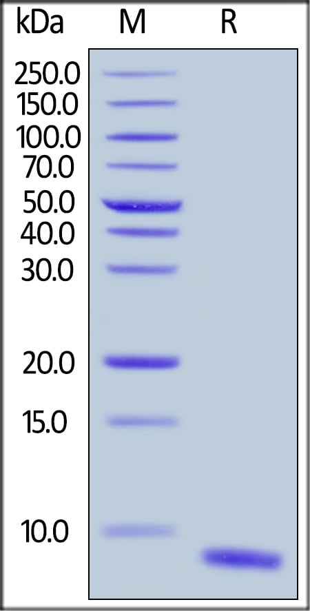 SDS-PAGE - Recombinant human EGF protein (ab168895)
