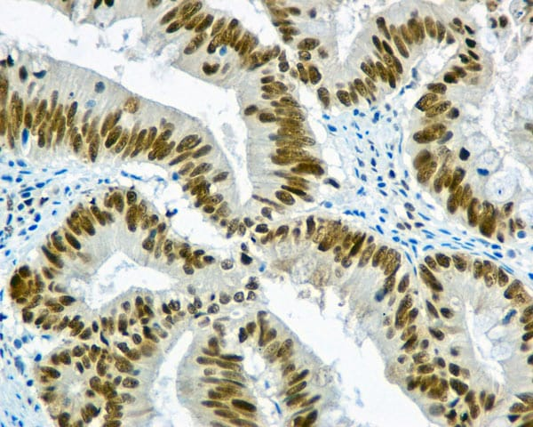Immunohistochemistry (Formalin/PFA-fixed paraffin-embedded sections) - Anti-WDR4 antibody [EPR11052] (ab169526)