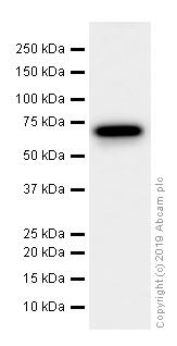 Western blot - Anti-eIF2A antibody [EPR11042] (ab169528)