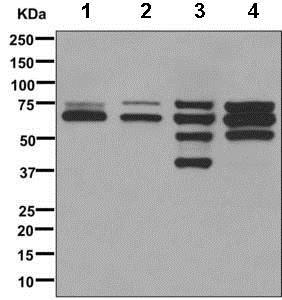 Western blot - Anti-Lamin A + Lamin C antibody [EPR4519(2)] (ab169532)