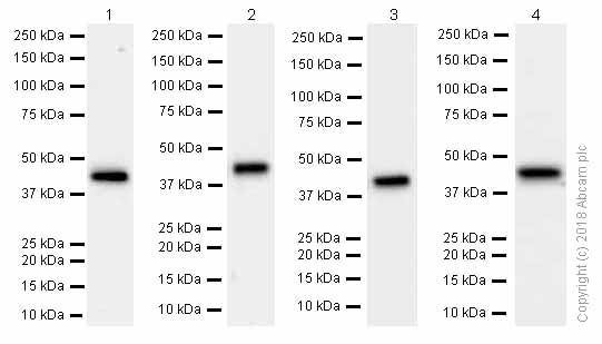 Western blot - Anti-Aldolase antibody [EPR9724(B)] (ab169544)
