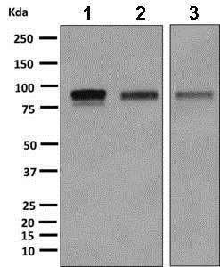 Western blot - Anti-CD105 antibody [EPR10145-12] (ab169545)