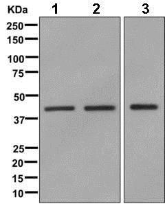 Western blot - Anti-TIAL1 antibody [EPR11323(B)] (ab169547)