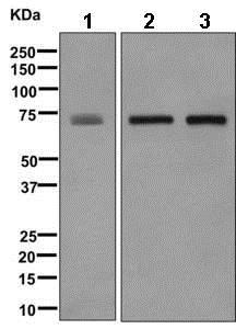 Western blot - Anti-alpha 1 Fetoprotein antibody [EPR9309] (ab169552)