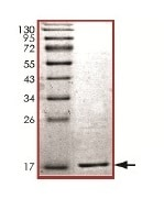 SDS-PAGE - Recombinant Human gamma Synuclein/SNCG protein (ab169723)
