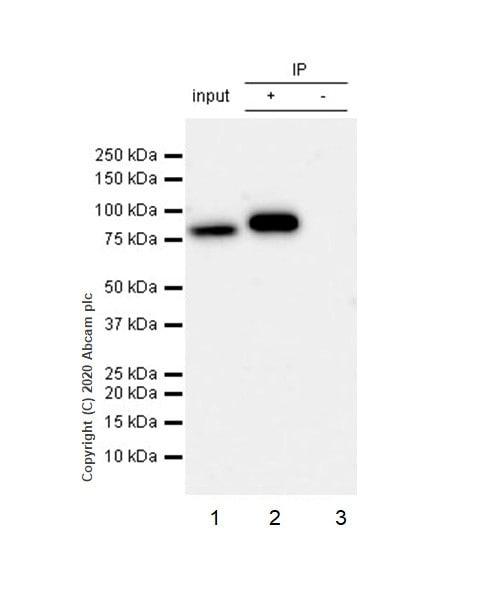 Immunoprecipitation - Anti-IKK alpha antibody [Y463] - BSA and Azide free (ab169743)