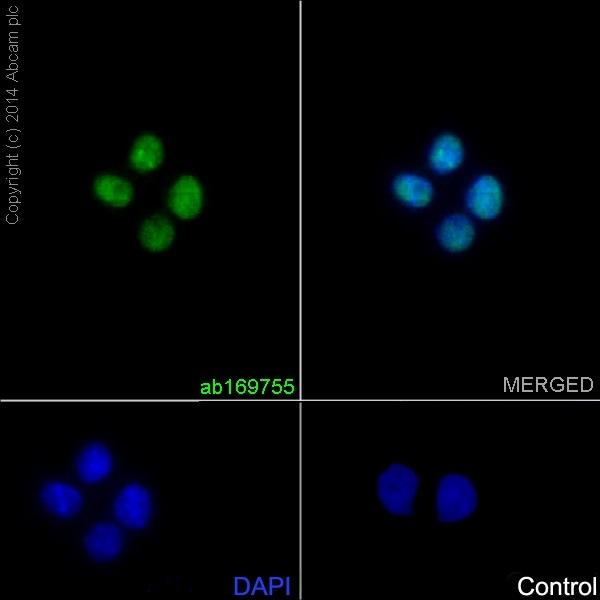 Immunocytochemistry/ Immunofluorescence - Anti-5 Lipoxygenase/5-LO antibody [EP6072(2)] (ab169755)
