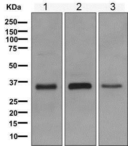 Western blot - Anti-MFAP4 antibody [EPR10254(B)] (ab169757)
