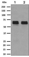 Western blot - Anti-LBP antibody [EPR10865] (ab169776)