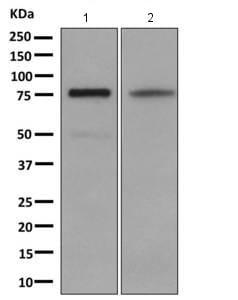 Western blot - Anti-COX2 / Cyclooxygenase 2 antibody [EP8588] (ab169782)