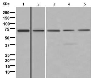 Western blot - Anti-ARID3A antibody [EPR11288] (ab169787)