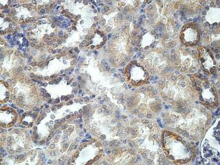 Immunohistochemistry (Formalin/PFA-fixed paraffin-embedded sections) - Anti-ARF4L antibody (ab169925)