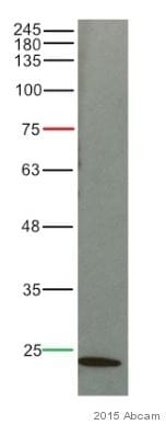 Western blot - Anti-Caveolin-1 antibody [7C8] (ab17052)