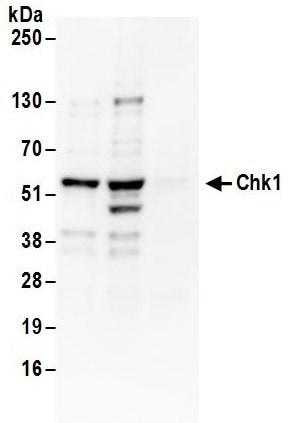 Immunoprecipitation - Anti-Chk1 antibody (ab17191)