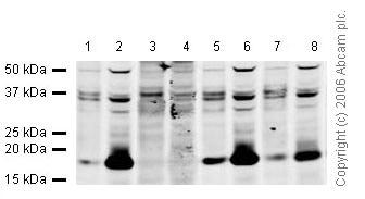 Western blot - Anti-Histone H1 (tri methyl K25) antibody (ab17347)