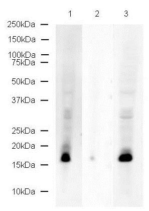 Western blot - Anti-Histone H2A (phospho S129) antibody (ab17353)
