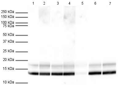 Western blot - Human Histone H4 (tri methyl K20) peptide (ab17567)