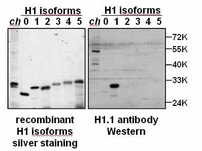 Western blot - Anti-Histone H1.1 antibody (ab17584)