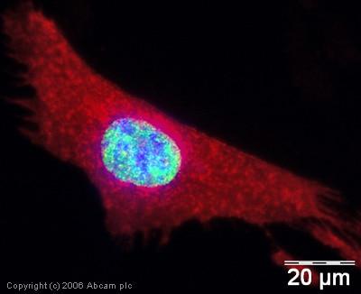Immunocytochemistry/ Immunofluorescence - Anti-KDM1 / LSD1 antibody - ChIP Grade (ab17721)
