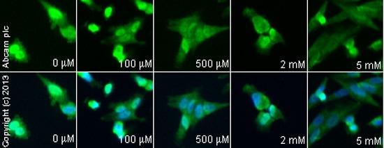 Immunocytochemistry/ Immunofluorescence - Anti-FMRP antibody (ab17722)