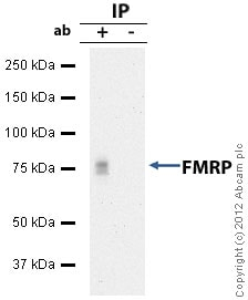 Immunoprecipitation - Anti-FMRP antibody (ab17722)