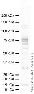 Western blot - Anti-FMRP antibody (ab17722)