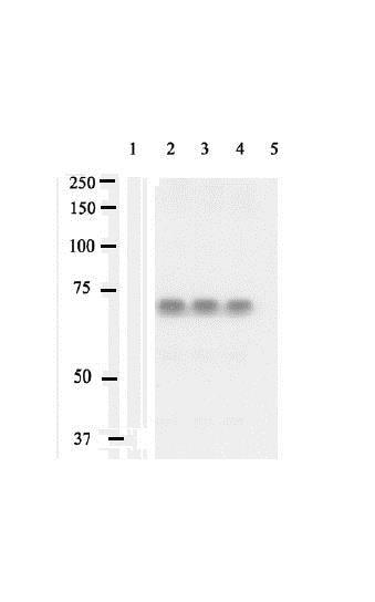 Western blot - Anti-SHP2 (phospho Y542) antibody (ab17939)