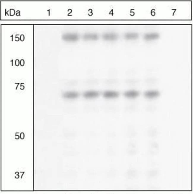Western blot - Anti-SHP2 (phospho S576) antibody (ab17940)