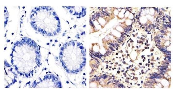 Immunohistochemistry (Formalin/PFA-fixed paraffin-embedded sections) - Anti-ERK1 + ERK2 antibody (ab17942)