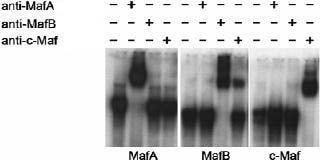 Electrophoretic Mobility Shift Assay - Anti-MafA antibody (ab17976)