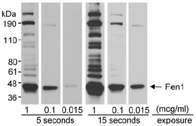 Western blot - Anti-FEN1 antibody (ab17994)