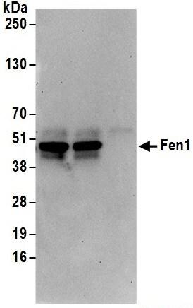 Immunoprecipitation - Anti-FEN1 antibody (ab17994)