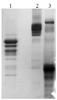 SDS-PAGE - Recombinant mouse Thrombopoietin protein (ab170079)