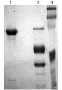 SDS-PAGE - Recombinant mouse Factor alpha XIIa protein (ab170080)