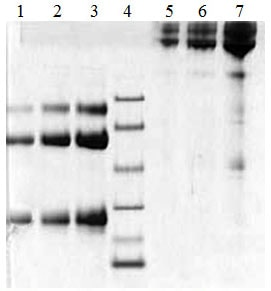 SDS-PAGE - Native Human CD79a protein (ab170086)