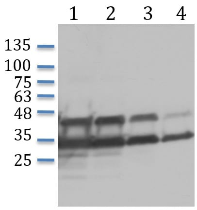 Western blot - SV40 VP2 + VP3 Total Protein Lysate - Positive Control (ab170088)