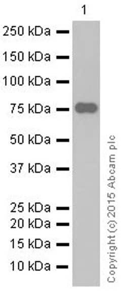 Western blot - Anti-Dopamine Receptor D1 antibody [EP1560Y] - BSA and Azide free (ab170146)