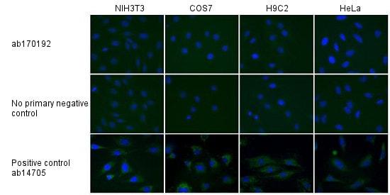 Immunocytochemistry/ Immunofluorescence - Mouse IgG2b, kappa monoclonal [7E10G10] - Isotype Control (ab170192)