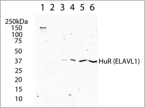 Western blot - Anti-HuR / ELAVL1 antibody [19F12AE12] (ab170193)