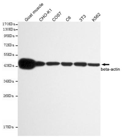 Western blot - Anti-beta Actin antibody [8F10-G10] (ab170325)