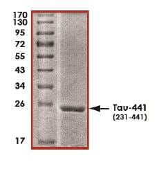 SDS-PAGE - Recombinant Human Tau441 protein (ab170405)