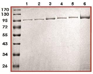SDS-PAGE - Recombinant human PADI1 + PADI2 +PADI3 + PADI4 + PADI6 protein (ab170409)