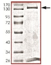 SDS-PAGE - Recombinant human Dnmt3b protein (ab170410)