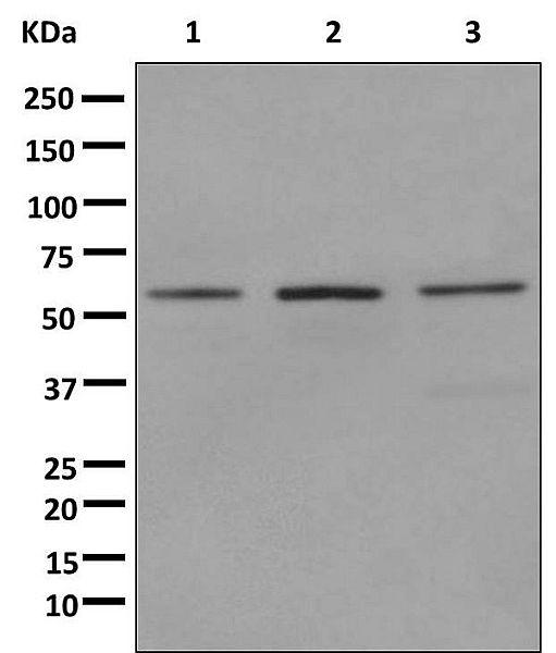 Western blot - Anti-CEP55 antibody [EPR11944(B)] (ab170414)