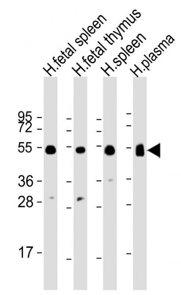 Western blot - Anti-IgG1 antibody (ab170461)
