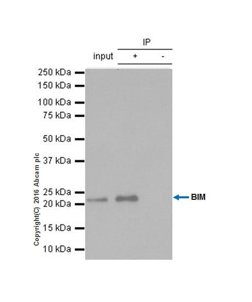 Immunoprecipitation - Anti-Bim antibody [Y36] - BSA and Azide free (ab170589)