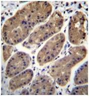 Immunohistochemistry (Formalin/PFA-fixed paraffin-embedded sections) - Anti-TMEM181 antibody - N-terminal (ab170618)