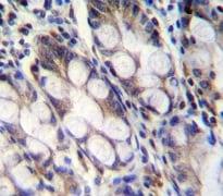Immunohistochemistry (Formalin/PFA-fixed paraffin-embedded sections) - Anti-FNDC7 antibody - C-terminal (ab170636)