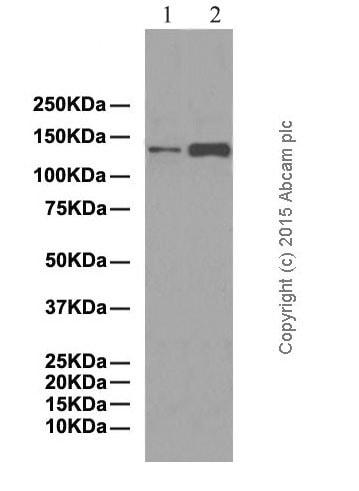 Western blot - Anti-JAK1 antibody [EPR349(N)] - BSA and Azide free (ab170719)