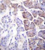 Immunohistochemistry (Formalin/PFA-fixed paraffin-embedded sections) - Anti-Carboxypeptidase B antibody - N-terminal (ab170724)